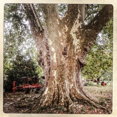 """Situé dans une cour de ferme, ce platane est connu sous le nom de l'agriculteur qui lui a depuis longtemps prodigué ses soins, """"l'arbre de Dumont"""". Planté en 1863, ce platane affiche un tour de taille de 8 mètres. 8/10/15,Sainte Livrade sur lot, FRANCE."""