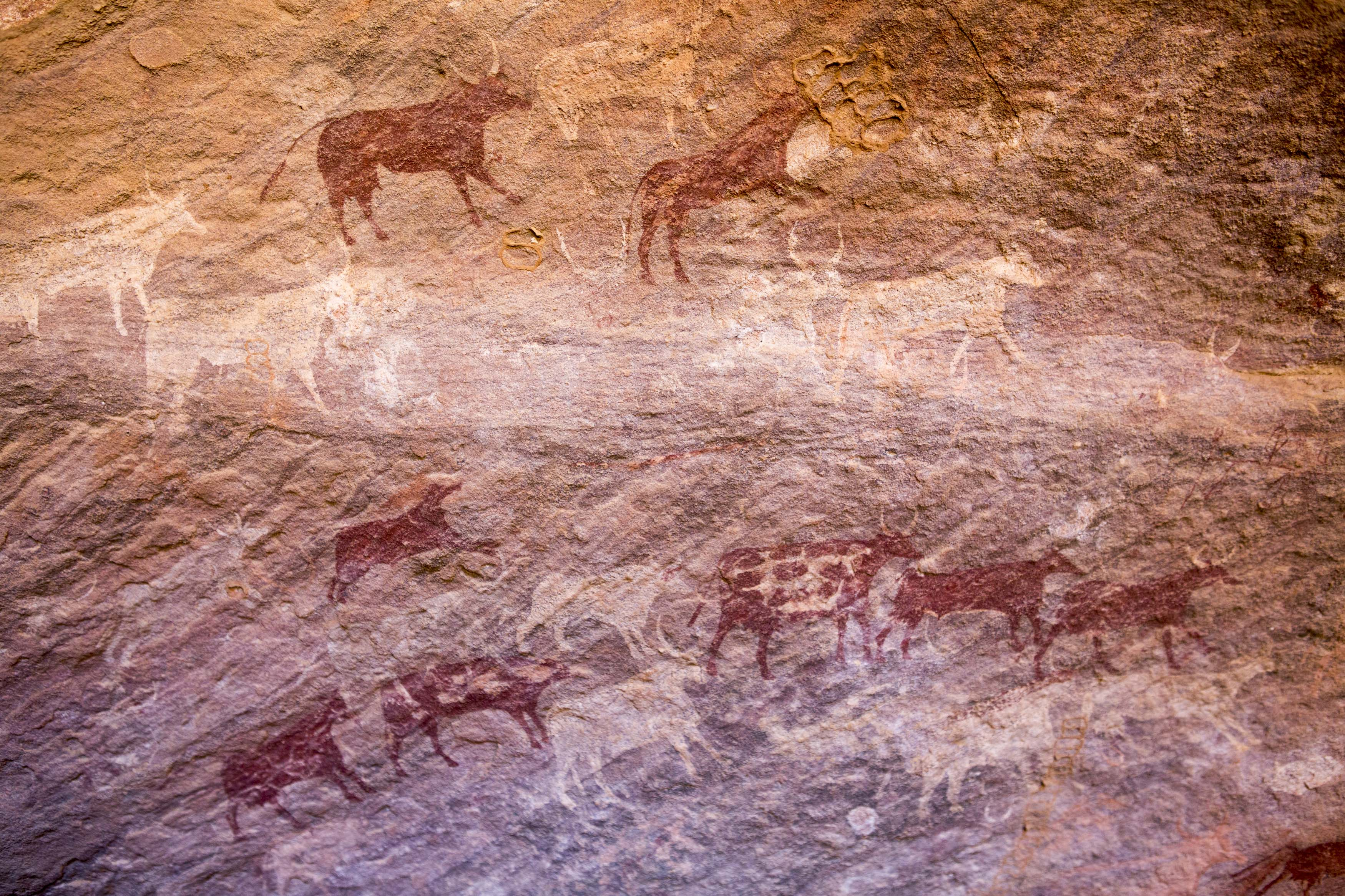 Cave painting depicting cows on a wall in the Tadrart.The Tadrart (200 km southeast of Djanet) is located in the south of the Tassili N'Ajjer National Park and is part of one of the most beautiful desert in the world but above all the central Sahara.From huge canyons to cliffs carved with rocky peaks of various shapes mix with dunes of colored sand with yellow and red reflections. The Tadrart, Algeria-February 6, 2017.Peinture rupestre représentant des vaches sur une paroi dans la Tadrart. La Tadrart (200 km au sud-est de Djanet) se situe dans le sud du Parc National du Tassili N'Ajjer et il fait partie d'un des plus beau désert au monde mais avant tout du Sahara central. D'immenses canyons aux falaises sculptées avec de pitons rocheux aux formes les plus diverses  se mélangent avec des dunes de sable coloré aux reflets jaune et rouge. La Tadrart,, Algérie-6 février 2017.